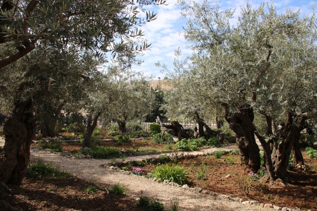 IMG_5394(Garden of G Ancient Olive Trees)